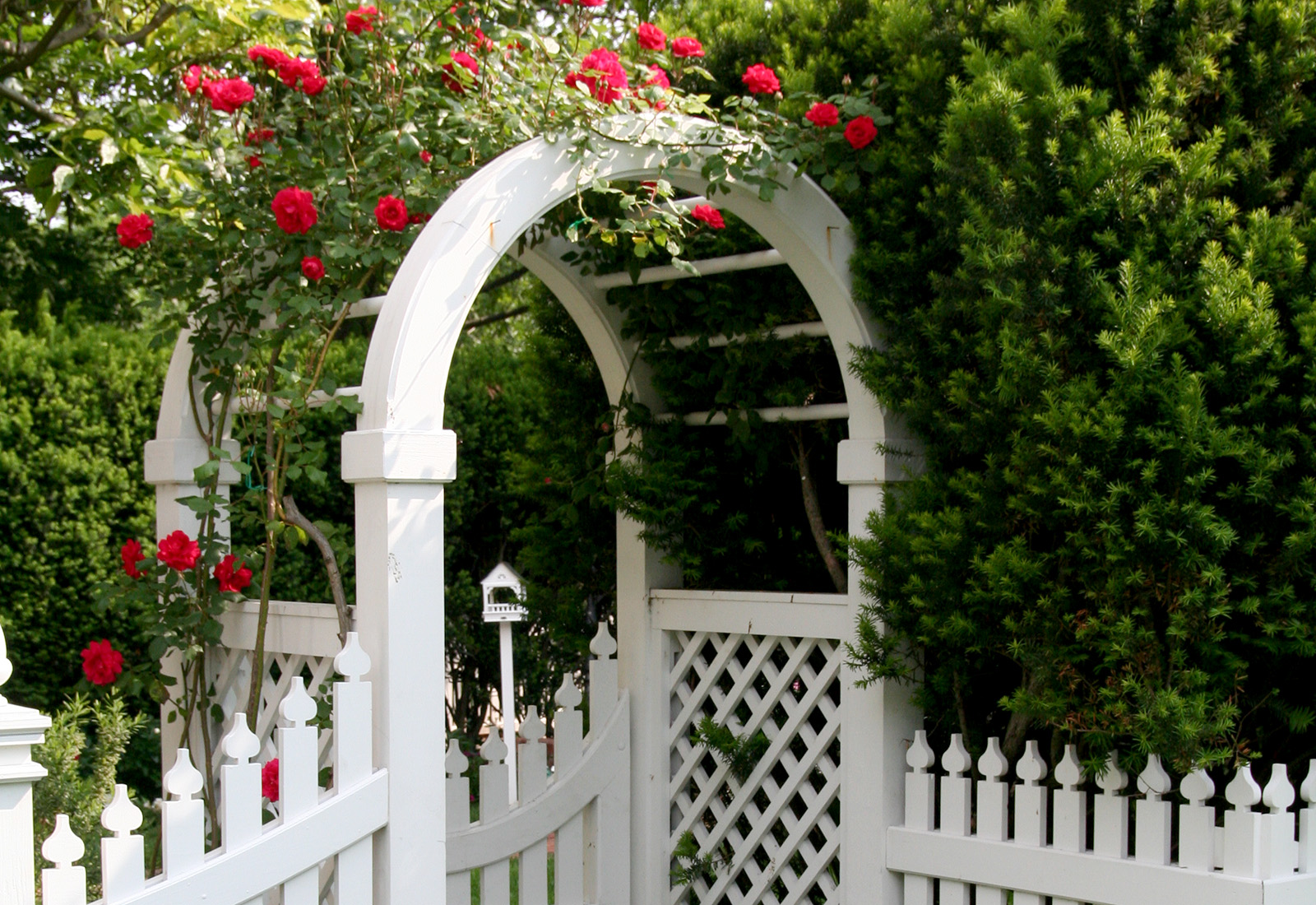 Arbor garden covered with bright red roses.